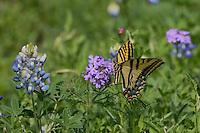 Two-Tailed Swallowtail (Papilio multicaudata), adul tfeeding on Prairie Verbena (Glandularia bipinnatifida) Texas Bluebonnet (Lupinus texensis), Texas, USA