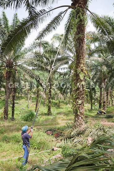 A worker using his tall harvesting pole to cut palm fruit from high in the trees. The Sindora Palm Oil Plantation, owned by Kulim, is green certified by the Roundtable on Sustainable Palm Oil (RSPO) for its environmental, economic, and socially sustainable practices. Johor Bahru, Malaysia