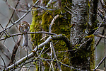 Canada, British Columbia, Vancouver, northern pygmy owl (Glaucidium californicum) with vole
