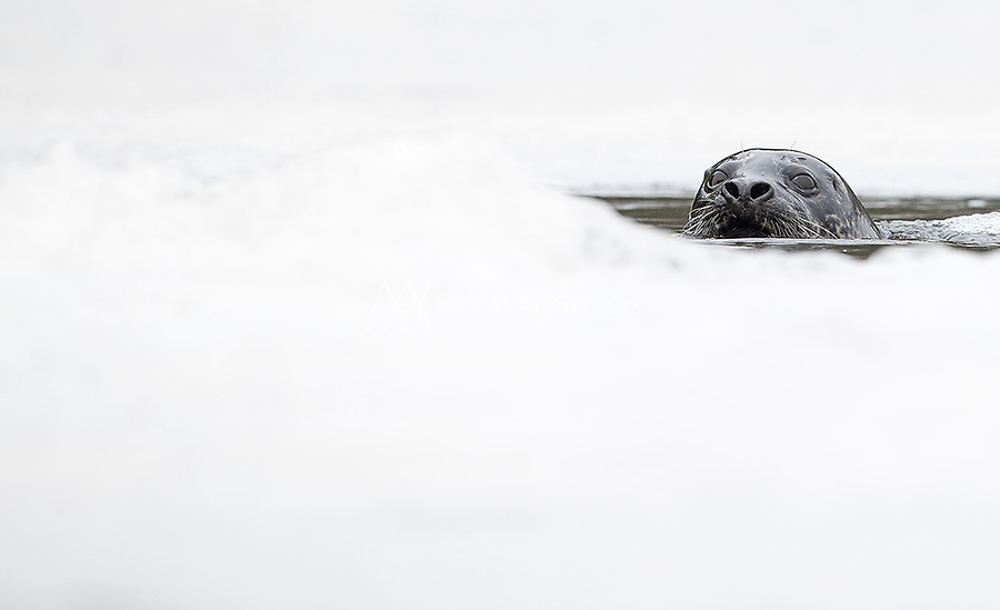 This seal was investigating a waterfall that left loads of foam and bubbles in the water.