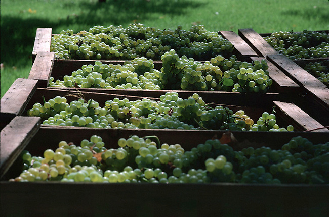 Chardonnay grapes wait for crusher