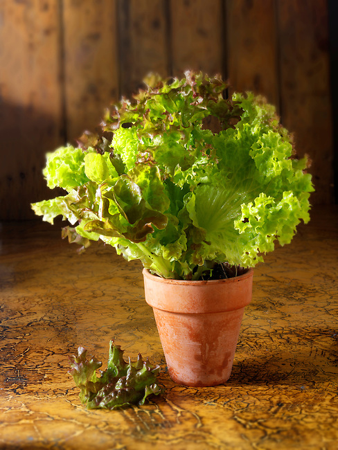 Growing lettuce  photos, pictures & images