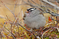 Adult White-crowned Sparrow (Zonotrichia leucophrys) foraging on crowberry. Seward Peninsula, Alaska. June.