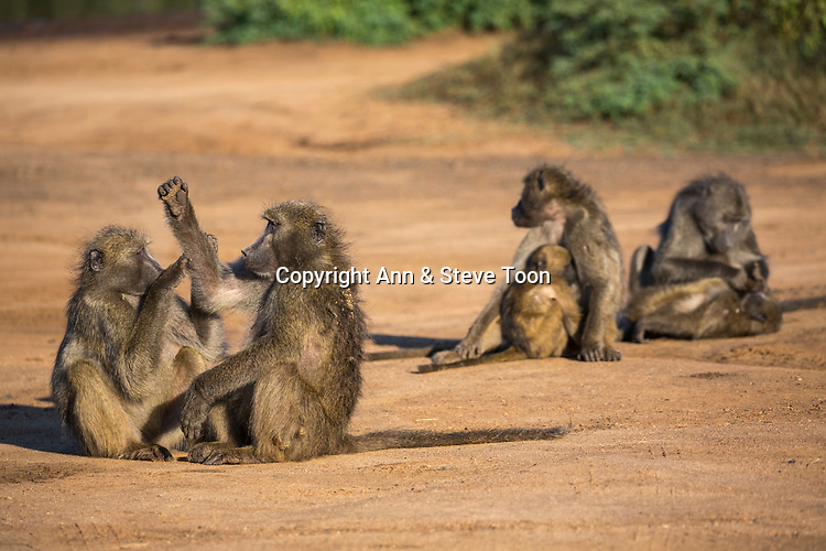 Chacma baboons (Papio ursinus), Kruger national park, South Africa, May 2017