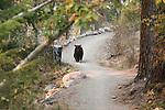 A black bear strolls through the Lincolnwood area in missoula, Montana