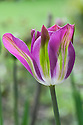 Tulip 'Nightrider', late April. A modern Viridiflora Group tulip with pink-purple petals flamed with green.