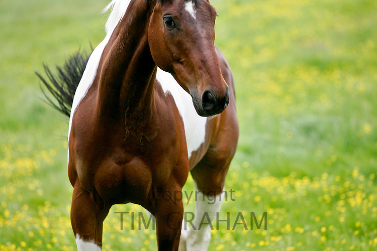 Skewbald  Horse, Oxfordshire RESERVED USE - NOT FOR DOWNLOAD -  FOR USE CONTACT TIM GRAHAM