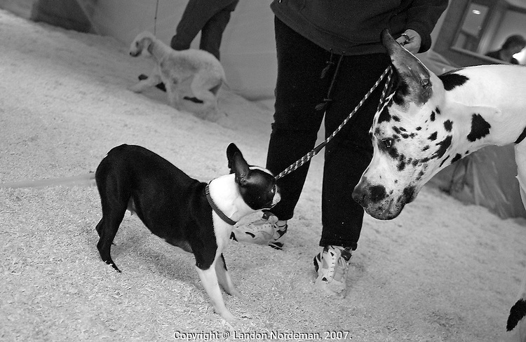 NEW YORK - FEB 8:  A Boston terrier, left, weighing in at an average of 15 pounds, makes eyecontact with a Great Dane, right, weighing in at an average of 150 pounds in the poop and pee area of the Pennsylvania Hotel in NYC where most of the dogs stay to compete in the 128th Annual Westminster Kennel Club Dog Show at Madison Square Garden in New York City on Tuesday February 10, 2004. A Bedlington Terrier is at rear left. (Photo By Landon Nordeman)