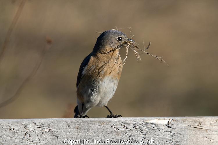 Female eastern bluebird with nesting material in her beak