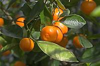 Gewöhnliche Mandarine, Citrus reticulata, Clementine, Tangerine, Common Mandarin