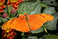 The Julia Butterfly or Julia Heliconian, is a species of brush-footed butterfly. The sole representative of its genus Dryas, it is native from Brazil to southern Texas and Florida, and in summer can sometimes be found as far north as eastern Nebraska. Over 15 subspecies have been described.<br /> <br /> Its wingspan ranges from 82 to 92 mm, and it is colored orange (brighter in male specimens) with black markings; this species is somewhat unpalatable to birds and belongs to the &quot;orange&quot; Batesian mimic complex.<br /> <br /> This butterfly is a fast flier and frequents clearings, paths, and margins of forests and woodlands. It feeds on the nectar of flowers, such as lantanas and Shepherd's-needle. Its caterpillars feeds on leaves of passion vines including Passiflora affinis and Yellow Passionflower in Texas.