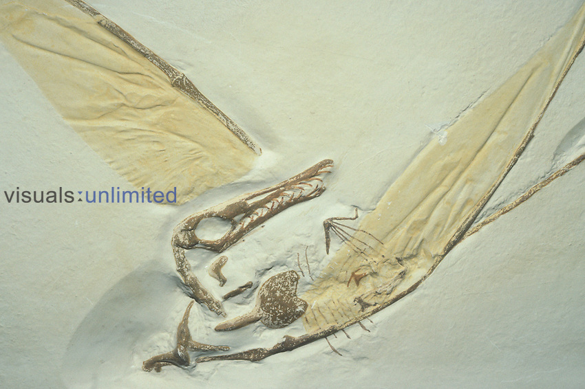 Quetzaicoatlus northropi.Pterosaur Flying Reptile fossil during the Cretaceous period seventy million years ago..Texas..