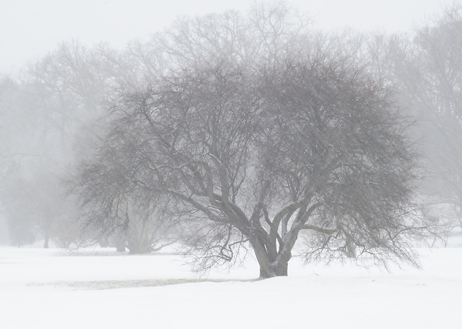 A lone tree appears ghost like in a snow storm at the Morton Arboretum, DuPage County, Illinois