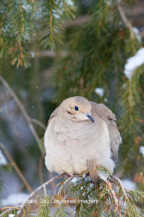 01081-01206 Mourning Dove (Zenaida macroura)  in spruce tree in winter, Marion Co., IL