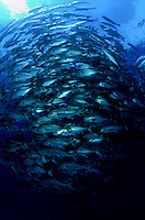 This swirling school of bigeye jacks, Caranx sexfasciatus, patrolled the open blue just on a dive site off the Revillagigedos Islands, known as ?The Boiler?.  Mexico. fish fishes school underwater marine crowd schooling many blue