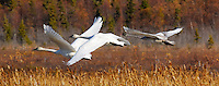 A family of trumpeter swans takes off from Potter Marsh, in South Anchorage, Alaska, on a sunny fall day.