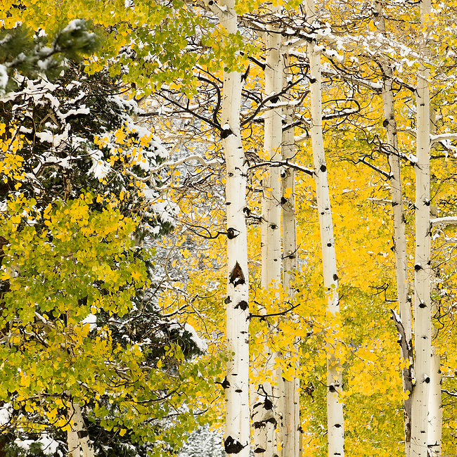 Early snow covers fall-colored aspen (Populus tremuloides) in Horseshoe Park, Rocky Mountain National Park, Colorado