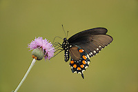 Pipevine Swallowtail (Battus philenor),adult feeding on Texas thistle (Cirsium texanum), Fennessey Ranch, Refugio, Coastal Bend, Texas Coast, USA