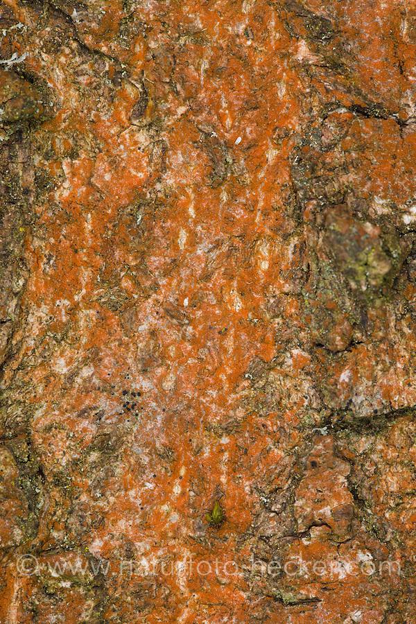 Orangerote Luftalge, Luftalge, Luftalgen, Grünalge, Grünalgen, Rotverfärbung an Baumstamm, Esche, Fraxinus excelsior, Rinde, Borke, Trentepohlia aurea, Chlorophyta, Aerophyten, green alga, green algae