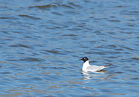 Bonaparte's Gull, Larus philadelphia, swimming on Lake Ewauna, near Klamath Falls, Oregon