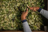 """A supporter of former Bolivian President Evo Morales, known as coca grower """"cocalero"""", works separating out coca leaves in the local coca market, in Entre Rios, Chapare province, Bolivia. November 27, 2019.<br /> Un partisan de l'ancien président bolivien Evo Morales, connu sous le nom de cultivateur de coca """"cocalero"""", travaille à la séparation des feuilles de coca sur le marché local de la coca, à Entre Rios, province du Chapare, Bolivie. 27 novembre 2019."""