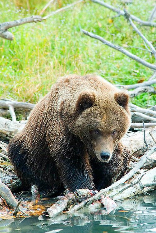 Grizzly bear and salmon, Kenai River, Alaska.