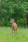 White-tailed doe walking in a northern Wisconsin meadow.