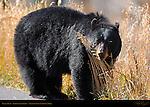 Black Bear Close Portrait, Roosevelt Lodge, Yellowstone National Park, Wyoming