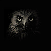 BNPS.co.uk (01202 558833)<br /> Pic: AlexTeuscher/BNPS<br /> <br /> ****Please use full byline****<br /> <br /> Malay fish owl.<br /> <br /> These zoo animals take on an altogether more sinister look after posing for a set of moody black and white portraits.<br /> <br /> Alex Teuscher has brought out the dark side in a range of exotic creatures including tigers, rhinos and elephants with his artistic project which took two years to complete.<br /> <br /> More than 200 photographs were taken to get the perfect set, which was snapped at zoos in Singapore and Switzerland.<br /> <br /> Alex's subjects also include a baboon, a grey crown crane, a green tree python and a Malay fish owl.<br /> <br /> Amazingly Alex, 31, from Geneva, Switzerland, only got into photography three years ago when his father gave him an old SLR camera.