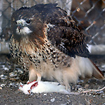 HOLTSVILLE,NY-JANUARY 31, 2007: A Red Tailed Hawk with its mouse dinner at the Wildlife and Ecolocical Education Center at Holtsville Park in Holtsville on Wednesday, January 31, 2007. (Newsday Photo / Jim Peppler).