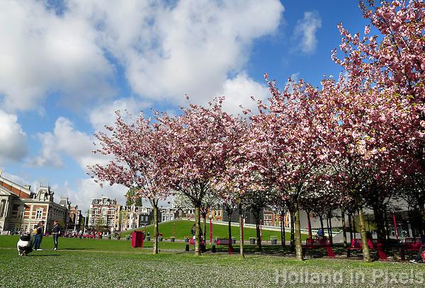 Bloeiende Japanse Sierkersbomen op het Museumplein