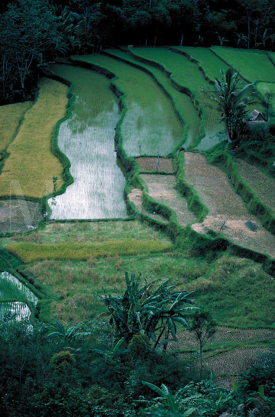 View of green, wavy, meticulously cultivated terraced rice paddies in Bali, Indonesia. Bali Indonesia.