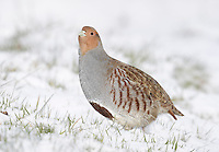 Grey Partridge - Perdix perdix L 29-31cm. Well-marked gamebird. Usually seen in small parties. Hunted and consequently wary; prefers to run from danger. Sexes are separable with care. Adult male has mainly grey, finely marked plumage with orange-buff face, large chestnut mark on belly, maroon stripes on flanks and streaked back. Adult female is similar but marking on belly is small. Juvenile is grey-buff with hint of adult's dark markings. Voice Utters a choked, harsh kierr-ikk call. Status Native of grassland and arable farmland with mature hedgerows. Once abundant, now scarce due to modern farming methods. Observation tips Easiest to see in winter.