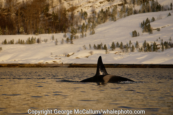 Adult male killer whale (orcinus orca )surfacing at sunset near snow covered shore. tysfjord, Arctic Norway