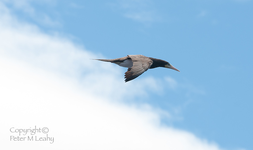 Brown Booby, image captured at sea on a ship south of Kagoshima, Japan