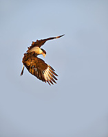 Crested Caracara rising vertically in flight looking at the ground