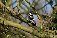 Lesser Spotted Woodpecker Dendrocopus minor L 14-15cm. Unobtrusive and easily overlooked. Sexes are separable with care. Adult male has black back and wings with white barring. Underparts are grubby white with dark streaking. Face is white and nape is black; black stripe runs from bill, around ear coverts to sides of breast. Note white-flecked red crown. Adult female and Juvenile are similar but with black crown. Voice Territorial male utters raptor-like piping call in spring. Drumming is rapid but rather faint. Status Local resident of deciduous woodland and parkland; often associated with alders