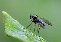 Long-legged Fly; Condylostylus sp.; on common milkweed leaf; Schuylkill Center, PA, Philadelphia