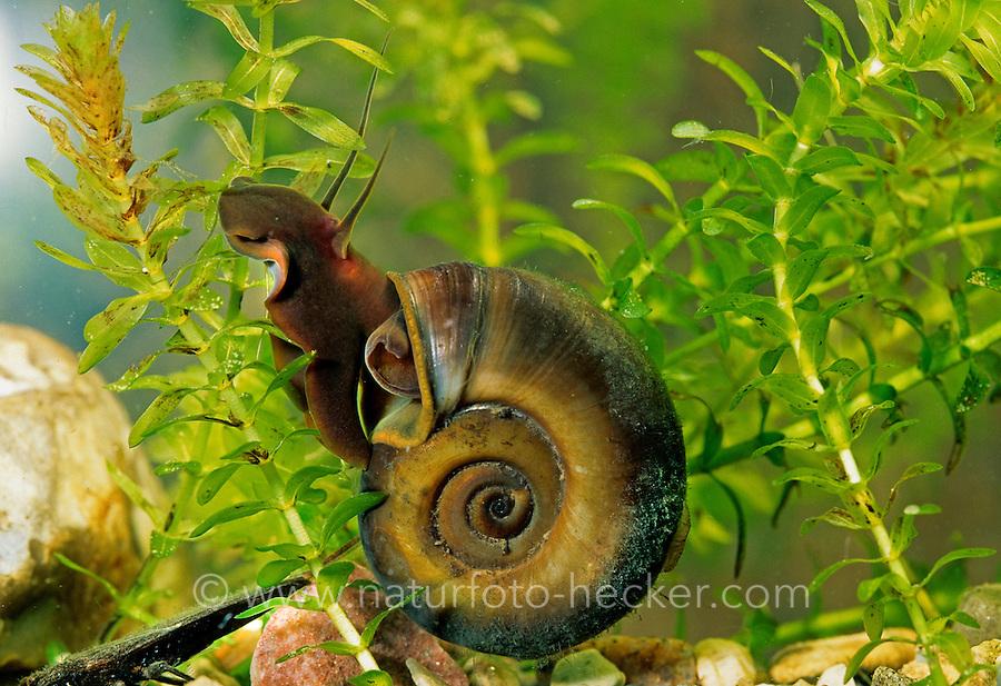 Posthornschnecke, Posthorn-Schnecke, Planorbarius corneus, horn-colored ram's horn, great ramshorn
