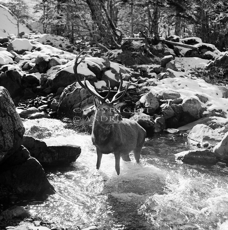 Black and white of Red Deer Stag in Centre Creek. Harper valley. Canterbury Region. New Zealand.