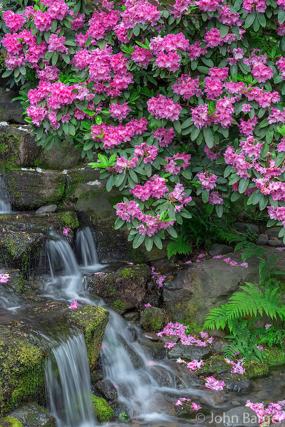 ORPTC_D122 - USA, Oregon, Portland, Crystal Springs Rhododendron Garden, Rhododendron blooms alongside waterfall and ferns.