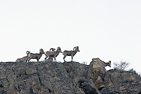 A small herd of bighorn sheep (Ovis canadensis) silhouetted against a blue spring sky. The natural range of Ovis canadensis was formerly in the Rocky Mountains from southern Canada to Colorado, but is now reduced to areas where small bands are protected by inaccessible habitat or by refuges. This group is located in the Lake Chelan Basin of Washington State and roams across Washington State Fish and Game land, Bureau of Land Management lands and Department of Natural Resource land.