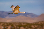 Sandhill Crane, Bosque del Apache, New Mexico ©2016 James D Peterson.  Shortly after sunrise, and with the Chupadera and Magdalena Mountains as its backdrop, this magnificent bird ascends from the pond where it has roosted for the night.  Many thousands of migratory birds visit this National Wildlife Refuge during the winter months.