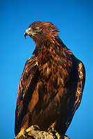 5210900009 a captive golden eagle aquila chrysaetos perches on a rock outcrop in central colorado this raptor is a falconers bird