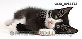 Kim, ANIMALS, REALISTISCHE TIERE, ANIMALES REALISTICOS, fondless, photos,+Black-and-white kitten, Solo, 7 weeks old, lying on his side,++++,GBJBWP42372,#a#