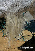 SH05-017z   Goat - close-up of beard