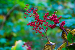 CATSKILLS, NY - September 25:  Guelder Rose growing in the woods near Vernooy Kill Falls in the Catskills