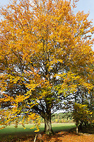 Buche im Herbst, Rotbuche, Rot-Buche, Herbstlaub, Herbstfärbung, Fagus sylvatica, European beech, common beech, autumn foliage, fall foliage, autumn colors