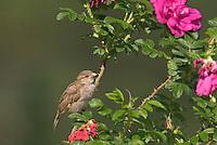 Hausspatz, Haus-Spatz, Spatz, Jungvogel, Haussperling, Haus-Sperling, Passer domesticus, House Sparrow, Moineau domestique