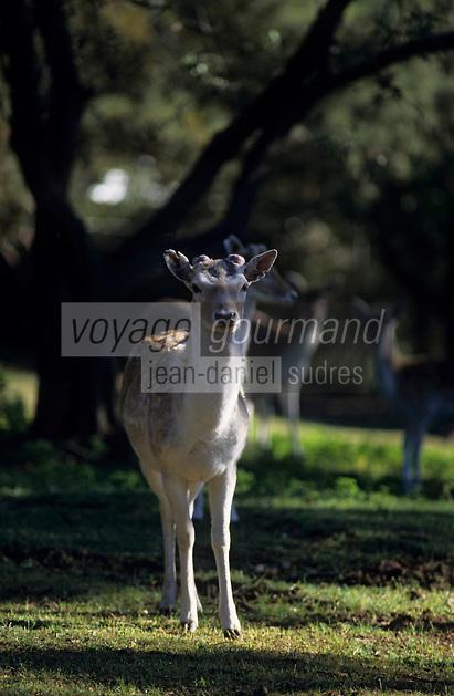 Océanie/Australie/Australie Méridionale/Barossa Valley : Daim